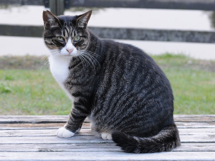 Let S Talk Tabby Identifying Cat Coat Patterns Silver Shorthairs