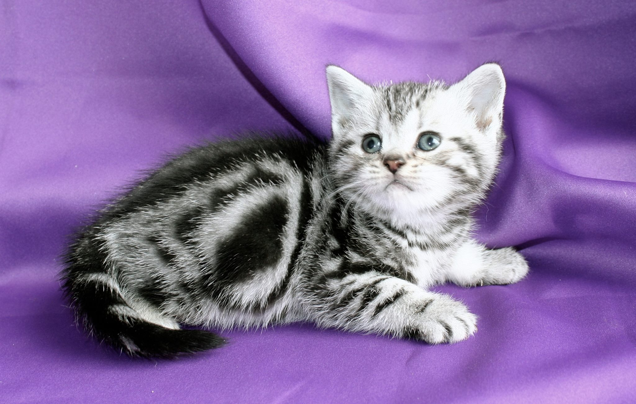 Image of American Shorthair silver tabby kitten on purple backdrop