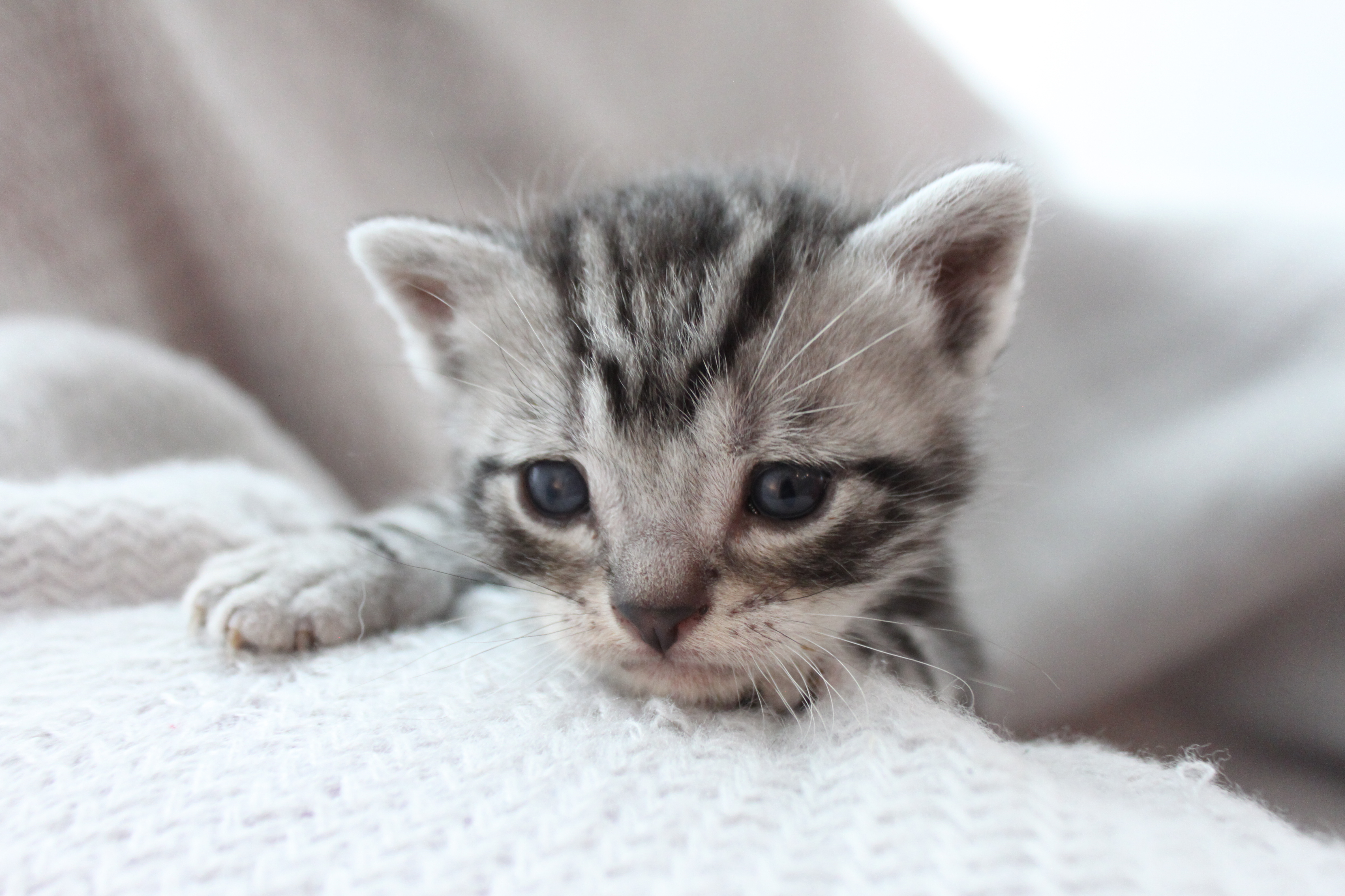 Available Kittens - Silver Shorthairs